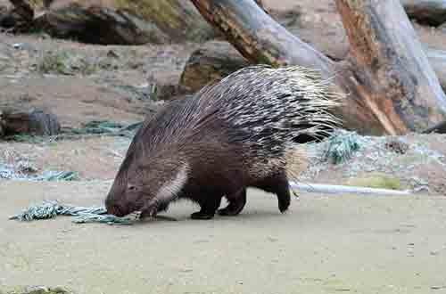 Quelle est la difference entre hérisson et porcupine
