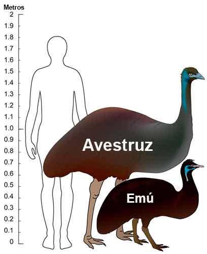 Quelle est la difference entre emu et ostrich