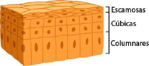 Células epiteliales