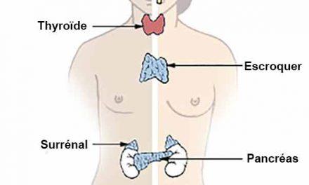 Quelle est la difference entre exocrine et endocrine