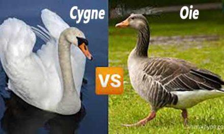 Quelle est la différence entre le cygne et l'oie
