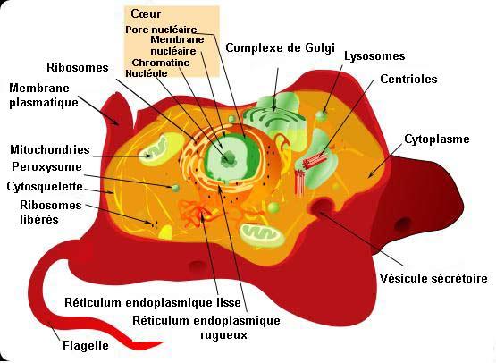 Cellule animale