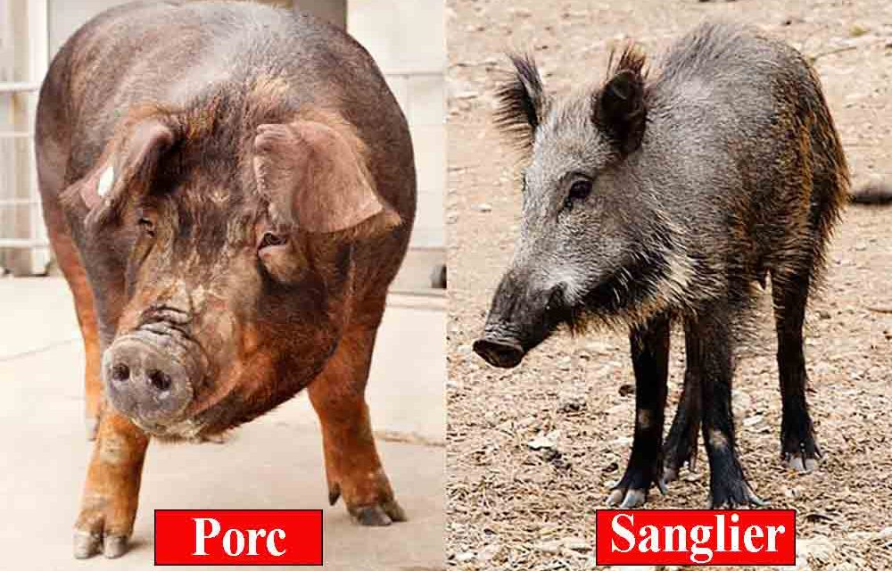 Quelle est la différence entre le porc et le sanglier