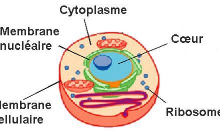 Quelle est la différence entre le cytoplasme et le protoplasme